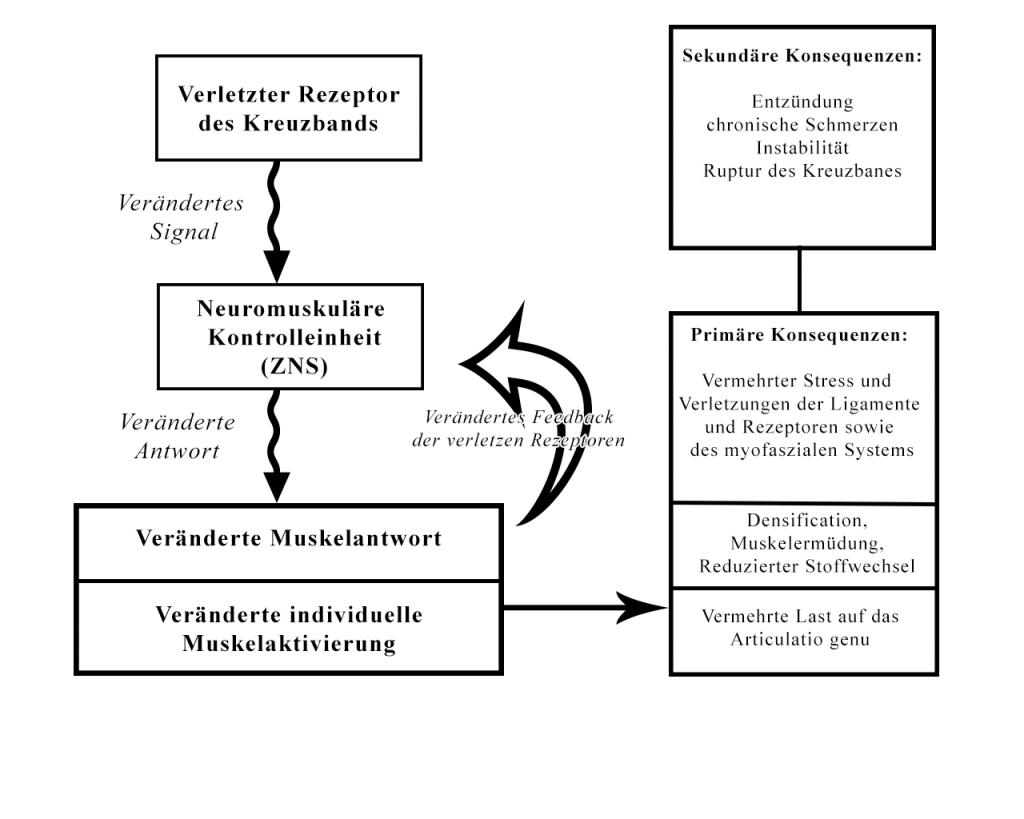Abbildung 1 : Mögliche Erklärung für ACL-Verletzungen: Das Subfailure Injury-Modell des vorderen Kreuzbandes (modifiziert nach: Panajabi, 2006)